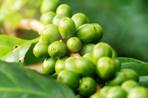 complesso di caffè verde diffusore